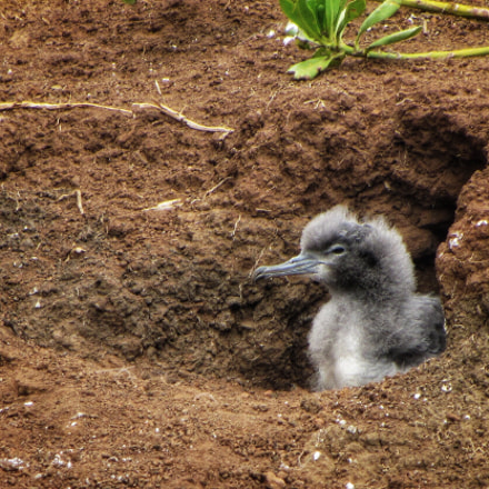 Wedged-tailed Shearwater Chick, Canon POWERSHOT SX230 HS