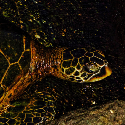 Green Sea Turtle, Canon POWERSHOT SX230 HS