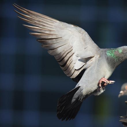 Güvercin, Nikon D810