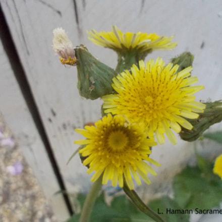 Yellow Weed Sacramento, Nikon COOLPIX S01