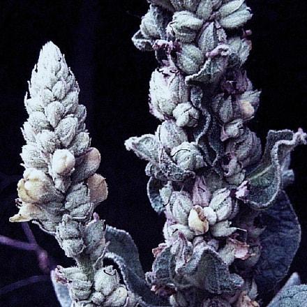Botanical, Canon POWERSHOT SD1000
