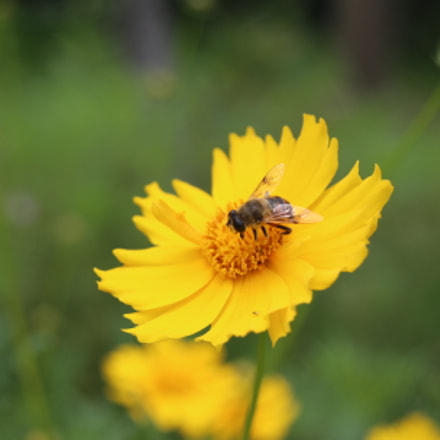 Bee, Canon EOS 6D, Canon EF 28-80mm f/3.5-5.6 USM IV