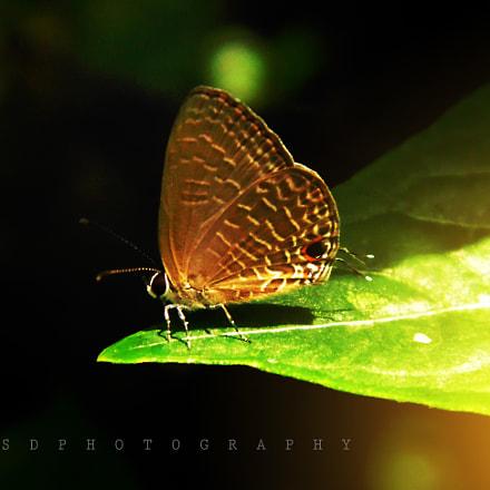 butterfly, Sony DSC-H100