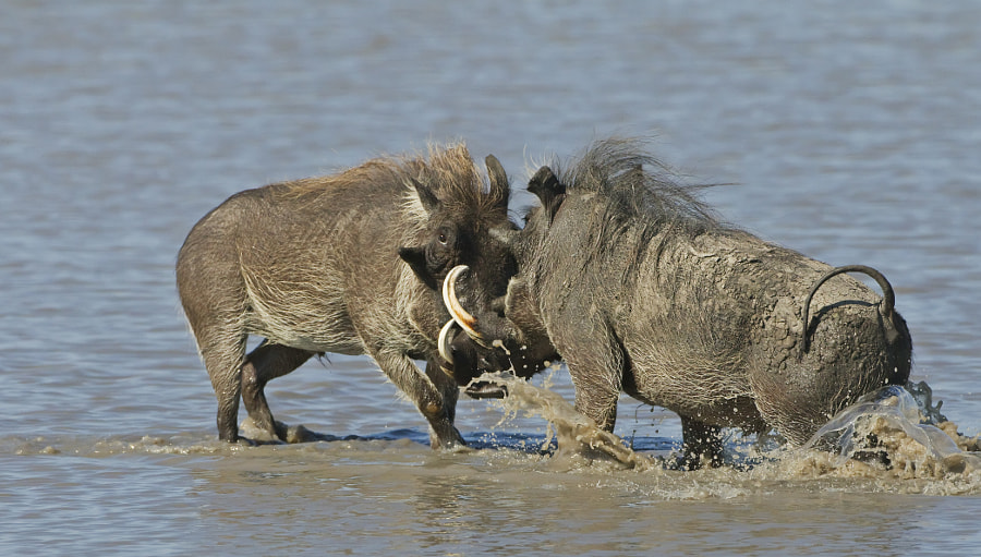 This from something I have never seen before two male Warthogs fight in a waterhole in Savute marsh area of Chobe National Park, Botswana, 7th May 2010.