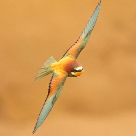 Bee-eater in flight, Canon EOS 7D MARK II, Canon EF 300mm f/4L IS