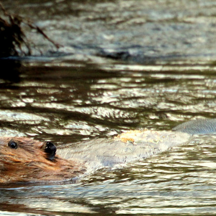 The evening swimm of, Canon EOS 700D, Canon EF 70-300mm f/4.5-5.6 DO IS USM