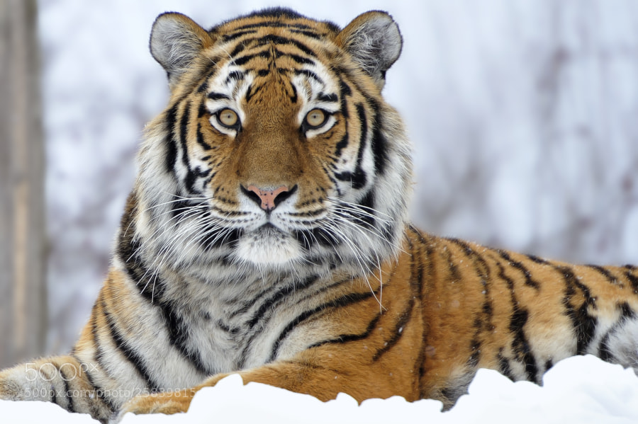 Photograph Siberian Tiger Portrait by Josef Gelernter on 500px
