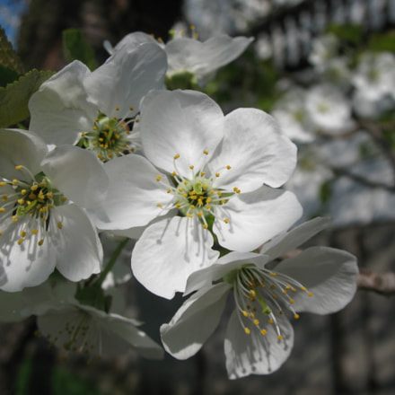 Flowering cherry, Canon POWERSHOT A630