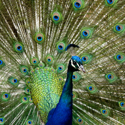 Amazing Peacock, Panasonic DMC-FZ35