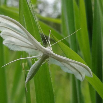 white plume moth is, Sony DSC-WX300