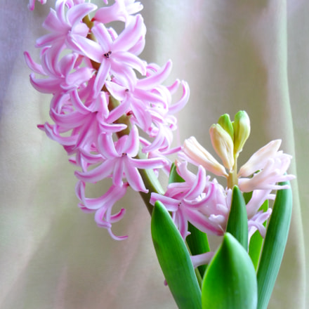 Hyacinth flowering, Sony DSC-WX50