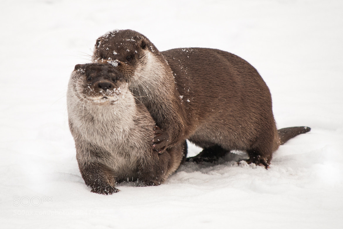 Photograph Otters in Snow I by Nico Froehberg on 500px
