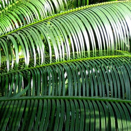 Palmenblätter, Canon DIGITAL IXUS 60