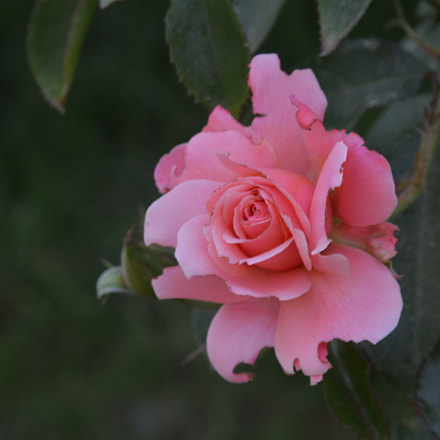 Flower II, Nikon D5200, Sigma 18-125mm F3.8-5.6 DC OS HSM