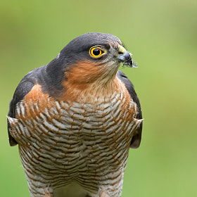 Sparrowhawk by Rob Cross (RobCImages)) on 500px.com