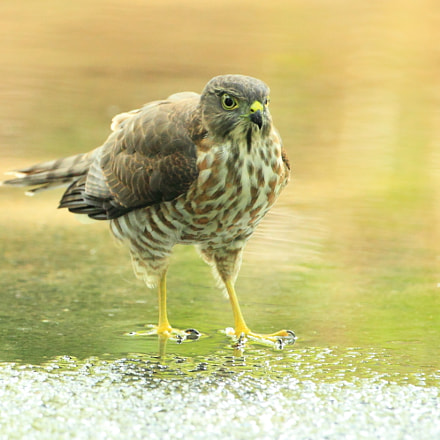 ツミ Japanese Sparrowhawk, Canon EOS-1D MARK IV, Canon EF 500mm f/4L IS