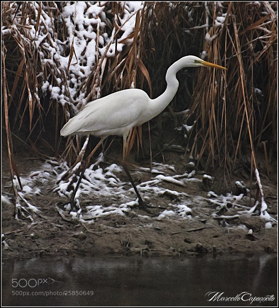 Photograph Walking (Ardea alba Linnaeus) by Marcello Caponnetto on 500px