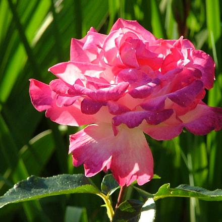 A lone rose, Fujifilm FinePix S5000