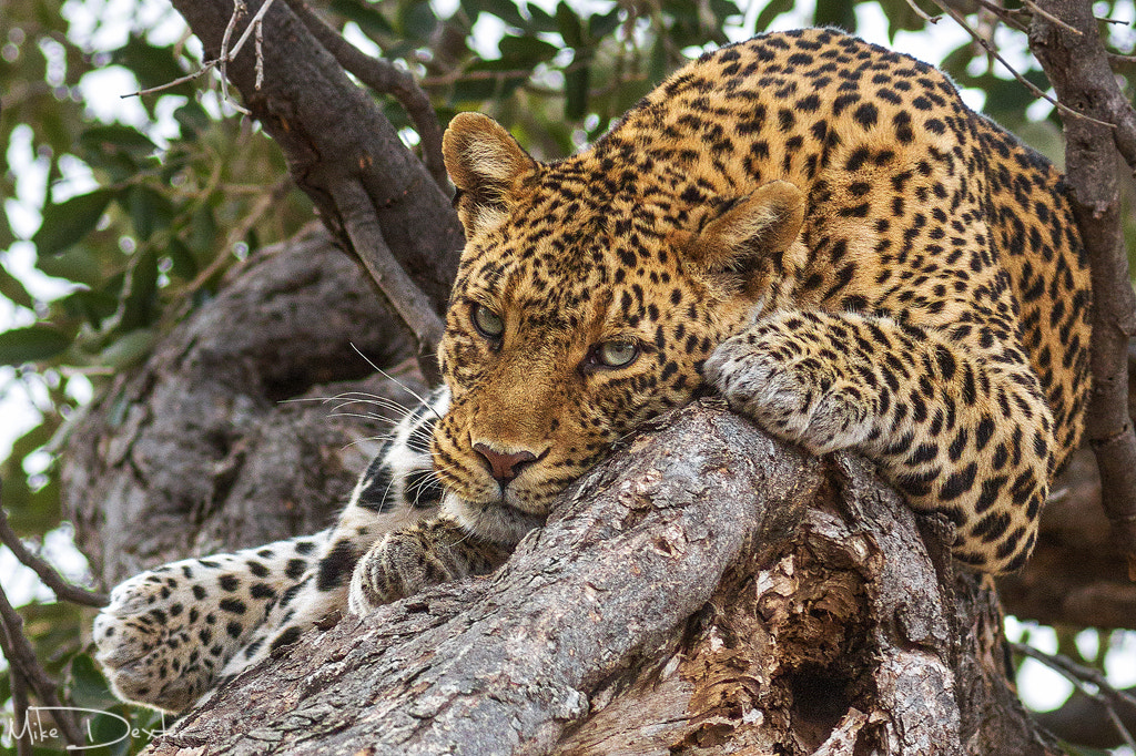 Photograph Lazy Leopard by Mike Dexter on 500px