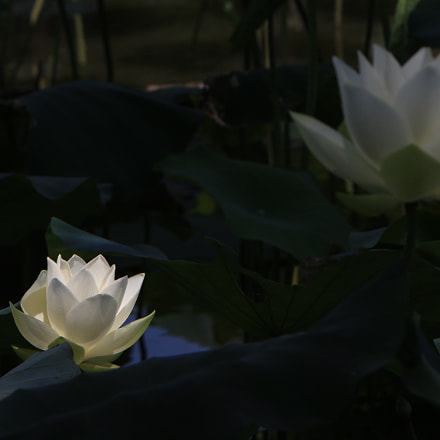 White lotus, Canon EOS 100D, Canon EF 70-200mm f/2.8L IS