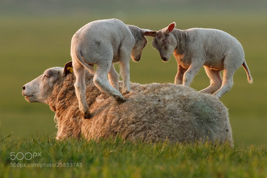 Photograph Leapsheeping Lambs by Roeselien Raimond on 500px