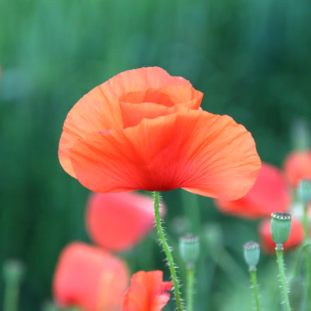 IMG 0259 poppy in, Canon EOS 1300D, Sigma 18-125mm f/3.8-5.6 DC OS HSM