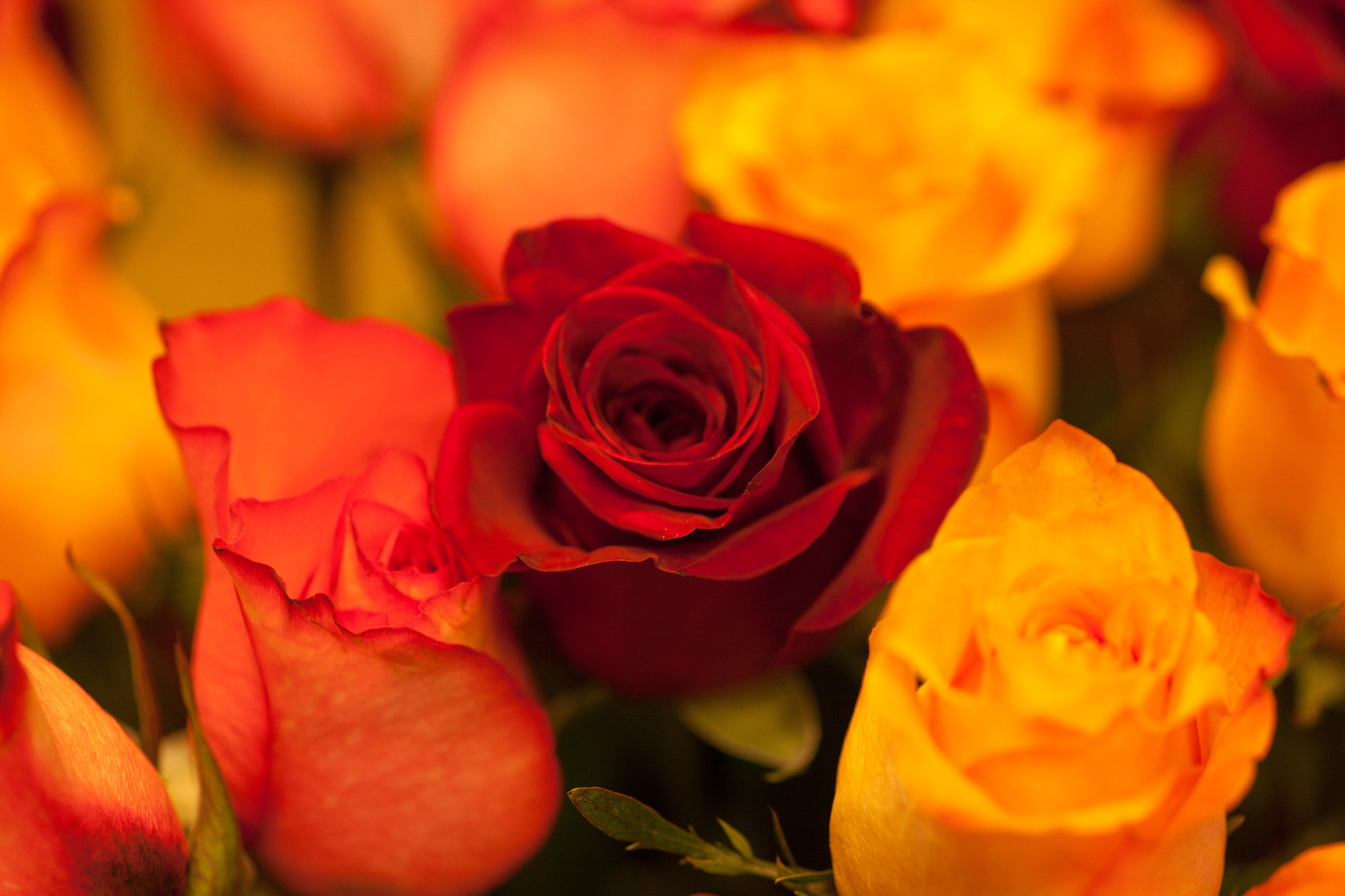 Photograph Roses by Jim Perry on 500px