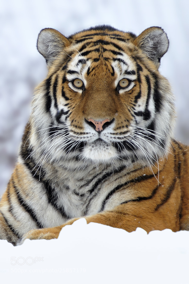 Photograph Portrait of a Tigress by Josef Gelernter on 500px