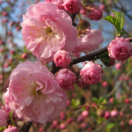 Cherry blooming, Canon DIGITAL IXUS 95 IS