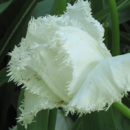 white tulip, Canon POWERSHOT A610