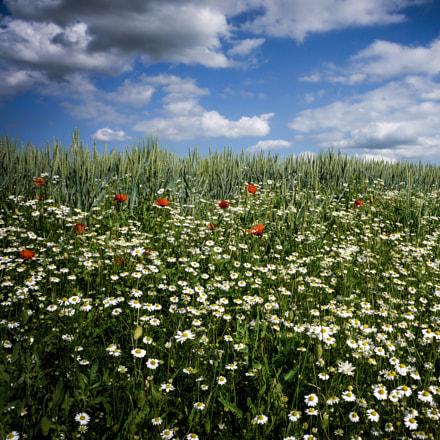 Poppies, daisies, grain and, Panasonic DMC-FX150