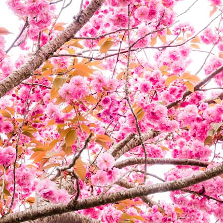 Cherry blossom, Canon POWERSHOT G9 X