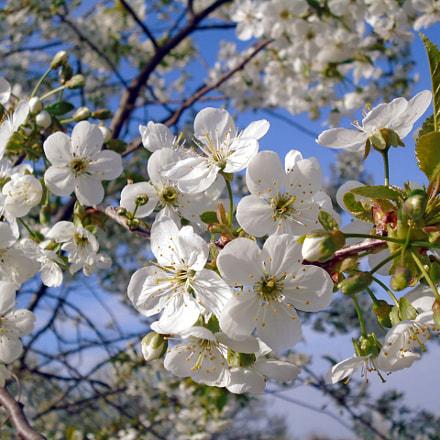 dsc00677 cherry tree blossom, Sony DSC-W800