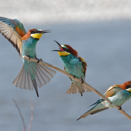 Fight for love- bee-eaters, RICOH PENTAX K-3 II, HD PENTAX-D FA 150-450mm F4.5-5.6 ED DC AW
