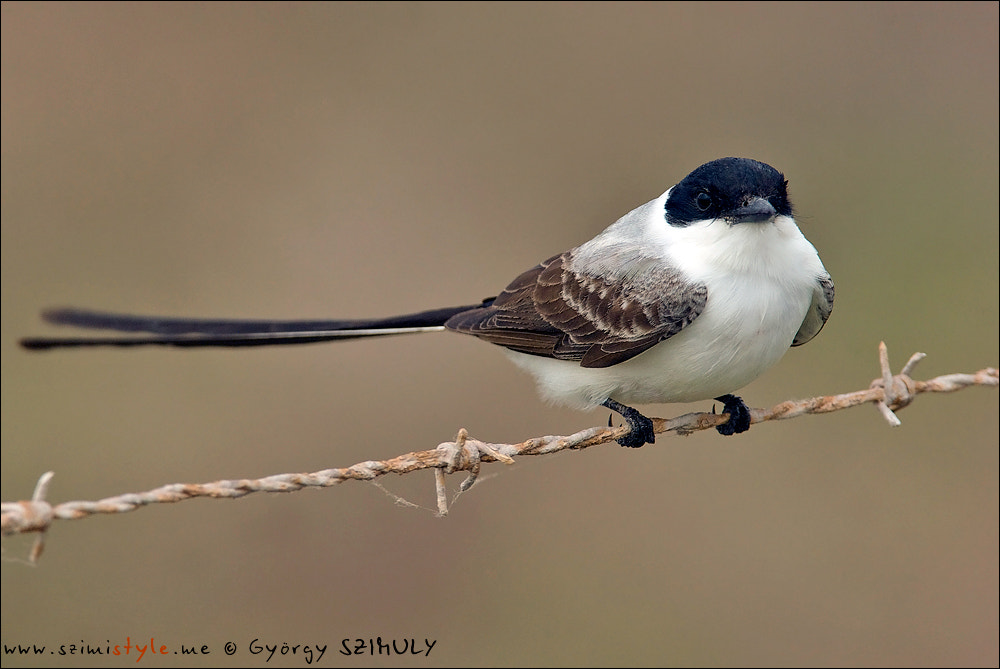 Photograph Fork-tailed Flycatcher (Tyrannus savana) by Gyorgy Szimuly on 500px