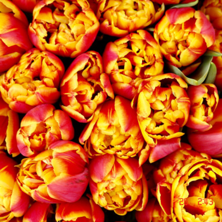 Tulips , Sony DSC-F828