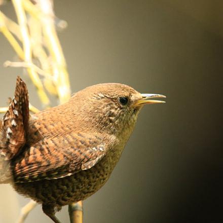 Eurasian Wren ミソサザイ, Canon EOS 7D MARK II