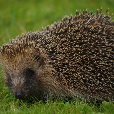 Hedgehog, RICOH PENTAX K-3