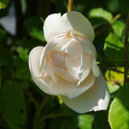 Rose blanche, RICOH PENTAX K-3, smc PENTAX-DA 18-135mm F3.5-5.6 ED AL [IF] DC WR