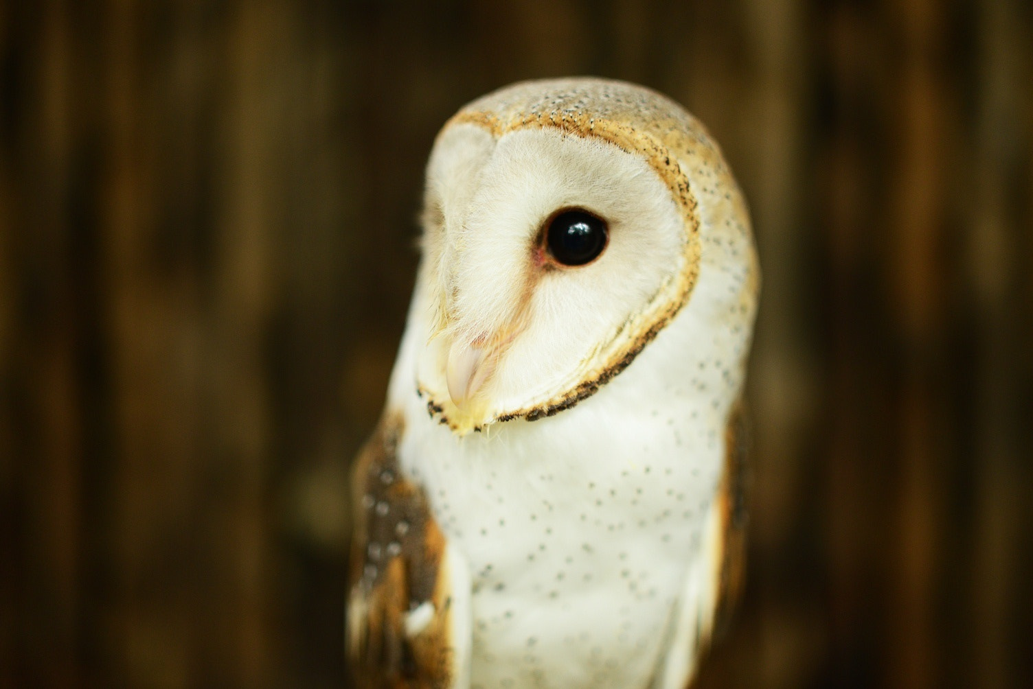 Photograph The Barn Owl by Fred Melot on 500px
