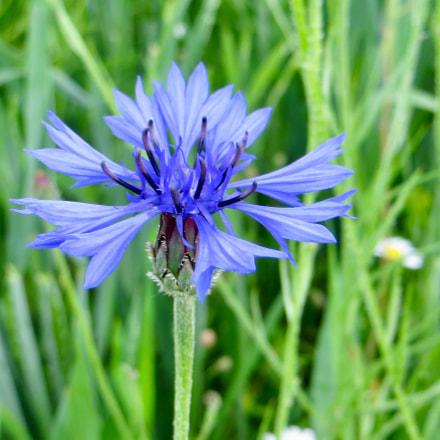 Flower in blue, Canon POWERSHOT SX260 HS