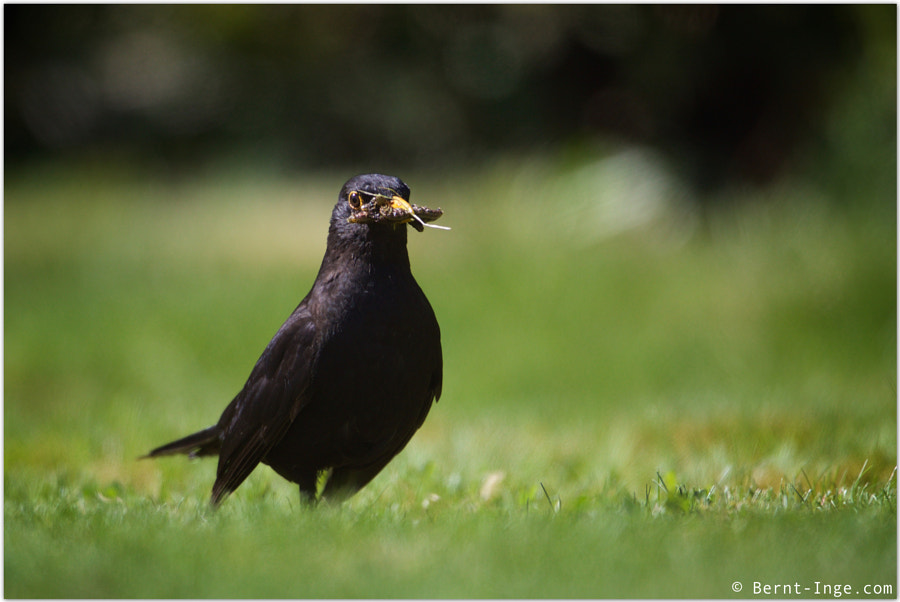 Common blackbird / Svarttrost by Bernt-Inge Madsen on 500px.com