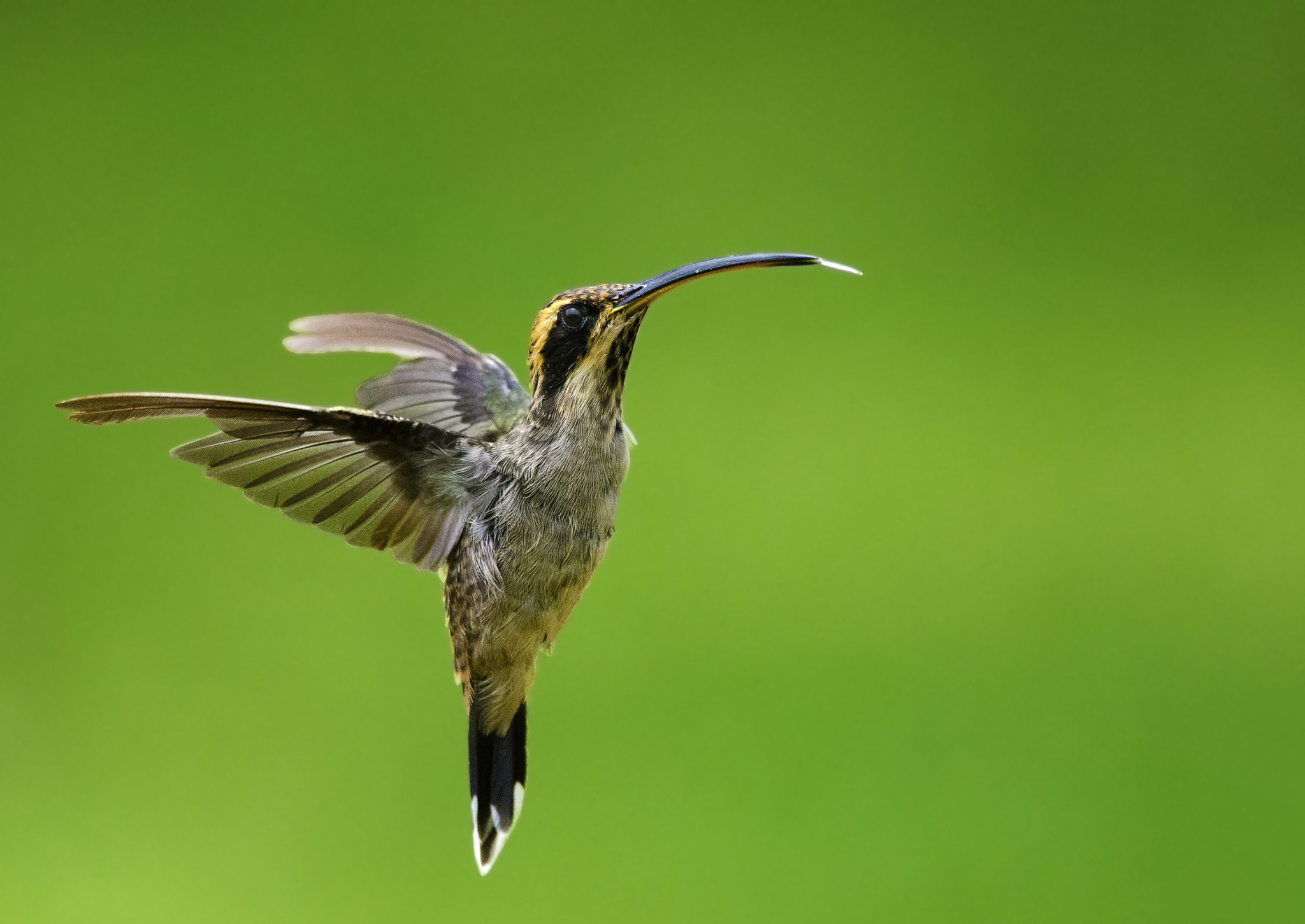 Photograph Scale-throated Hermit by jarbas mattos on 500px