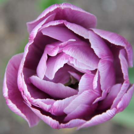 Handsome Tulip, Canon EOS 550D, Canon EF-S 18-135mm f/3.5-5.6 IS