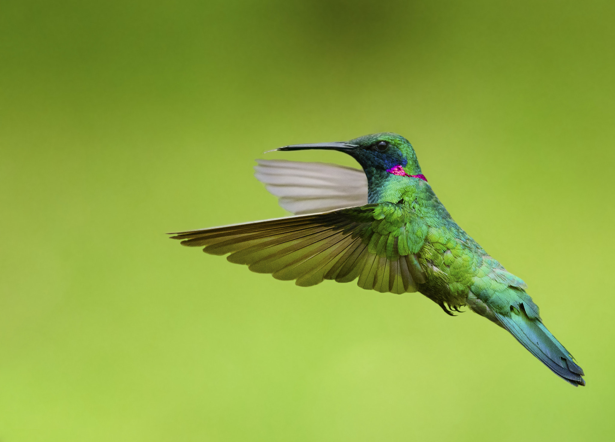 Photograph White-vented Violetear by jarbas mattos on 500px