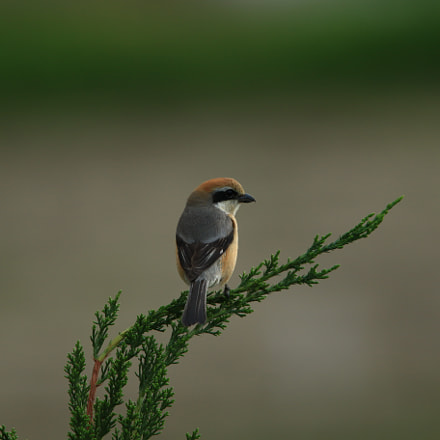 Bull-headed shrike モズ 孤独, Canon EOS 7D MARK II, Canon EF 400mm f/2.8L + 2x