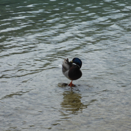 Ente auf einem Bein, Panasonic DMC-FT5