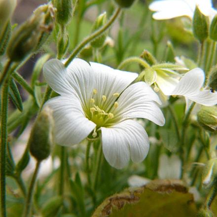 flower, Panasonic DMC-FZ8