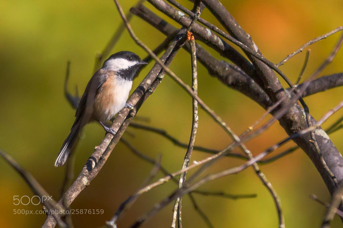 Photograph Chickadees by George Bloise on 500px