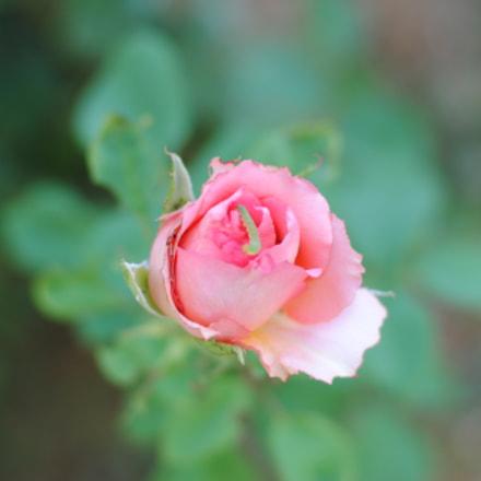 Rose, Nikon D3000, AF-S Nikkor 50mm f/1.8G